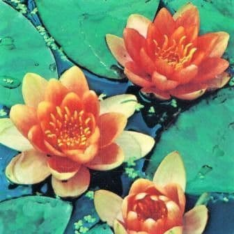Nymphaea 'Indiana' (Variable Colour Water Lily)