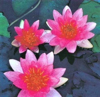 Nymphaea Pygmaea 'Rubra' (Dwarf Red Water Lily)